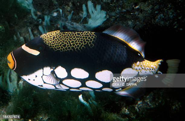 Clown Triggerfish Balistidae