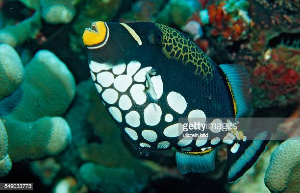 Clown triggerfish Balistoides conspicillum Indonesia Raja Ampat Irian Jaya West Papua Indian Ocean