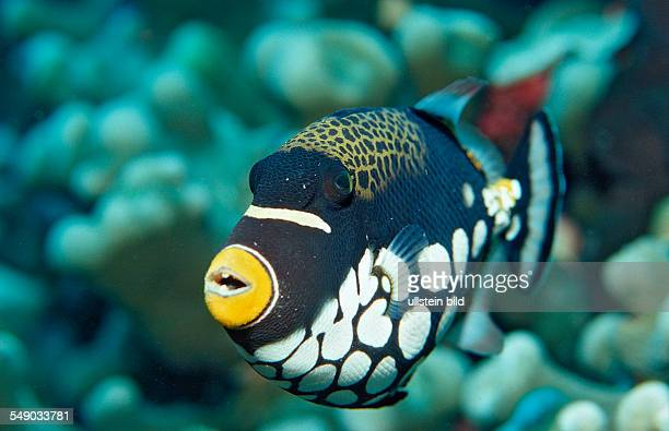 Clown triggerfish Balistoides conspicillum Indonesia Wakatobi Dive Resort Sulawesi Indian Ocean Bandasea