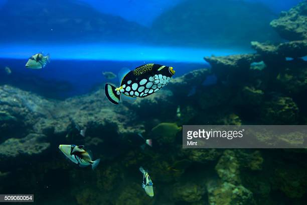 Clown Triggerfish on display at Taraporwala Aquarium clicked on February 25 2015 in Mumbai India