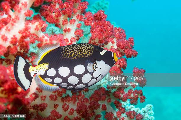 Clown triggerfish (Balistoides conspicillum) (Digital Composite)