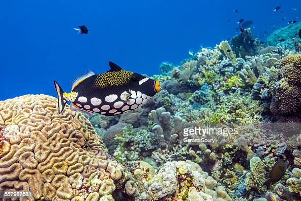 A Clown Triggerfish