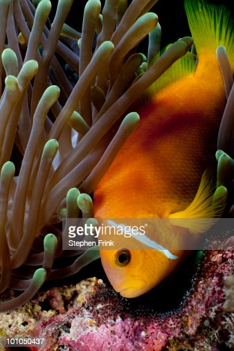 Clownfish and eggs in anemone : Stock Photo