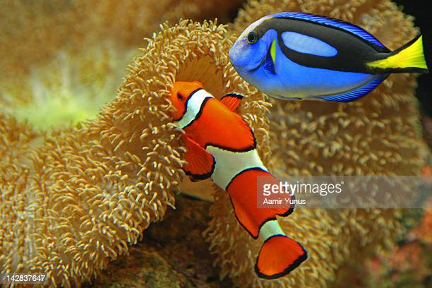 Clownfish and Regal Tang