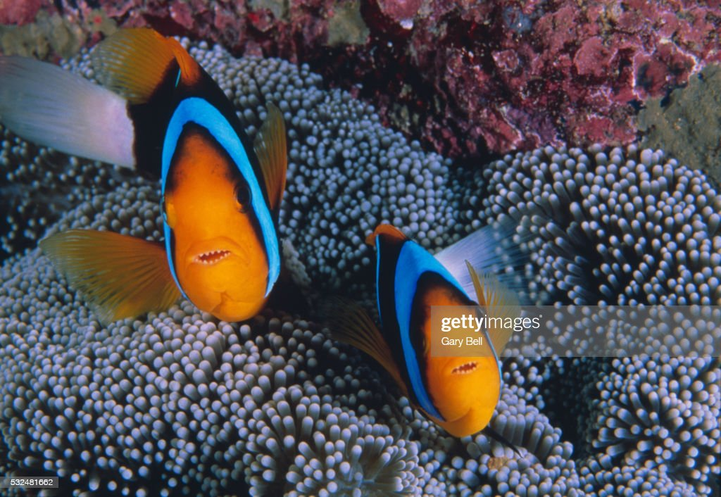 Clownfish and sea anemone on the great barrier reef stock for Clown fish care