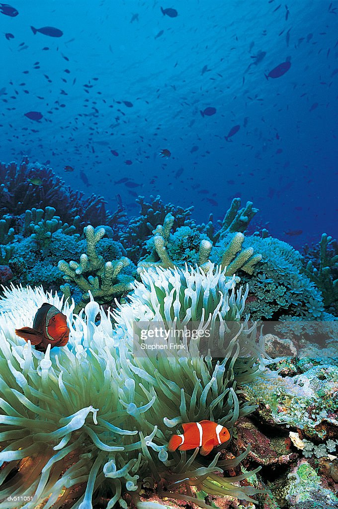 Clownfish (Amphiprion ocellaris) and Sea Anemone : Stock Photo