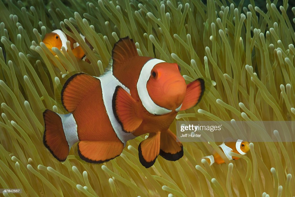 Clownfish family in sea anemone : Stock Photo