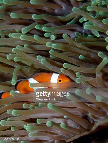 Clownfish in anemone : Stock Photo