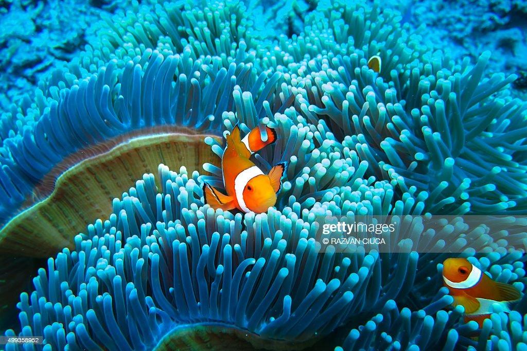 Clownfish in blue anemone