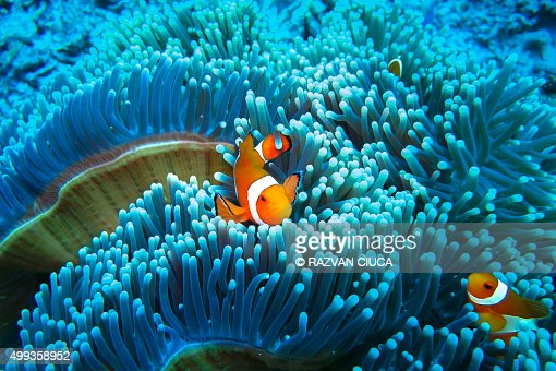 Clownfish in blue anemone