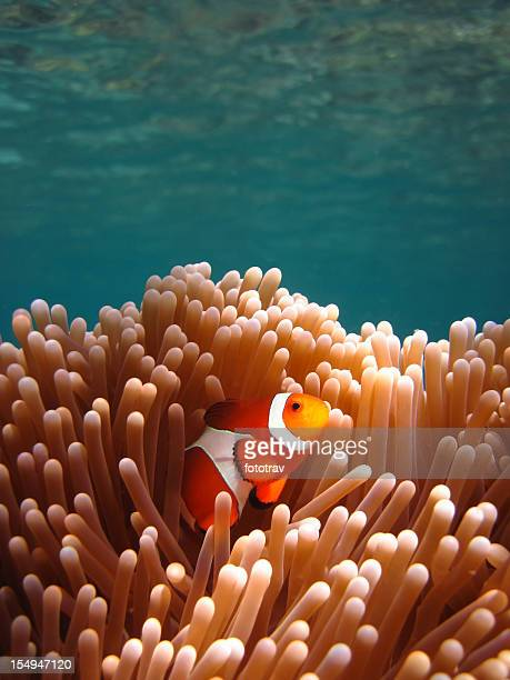 Clownfish in Coral garden - Snorkeling Asian tropical pristine water