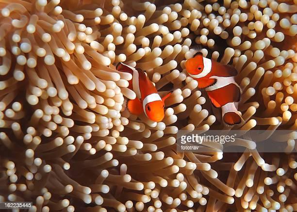 Coral Clownfish no jardim-Sudeste da Ásia umas tropical água