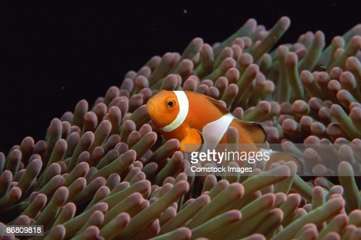 Clownfish in sea anemone