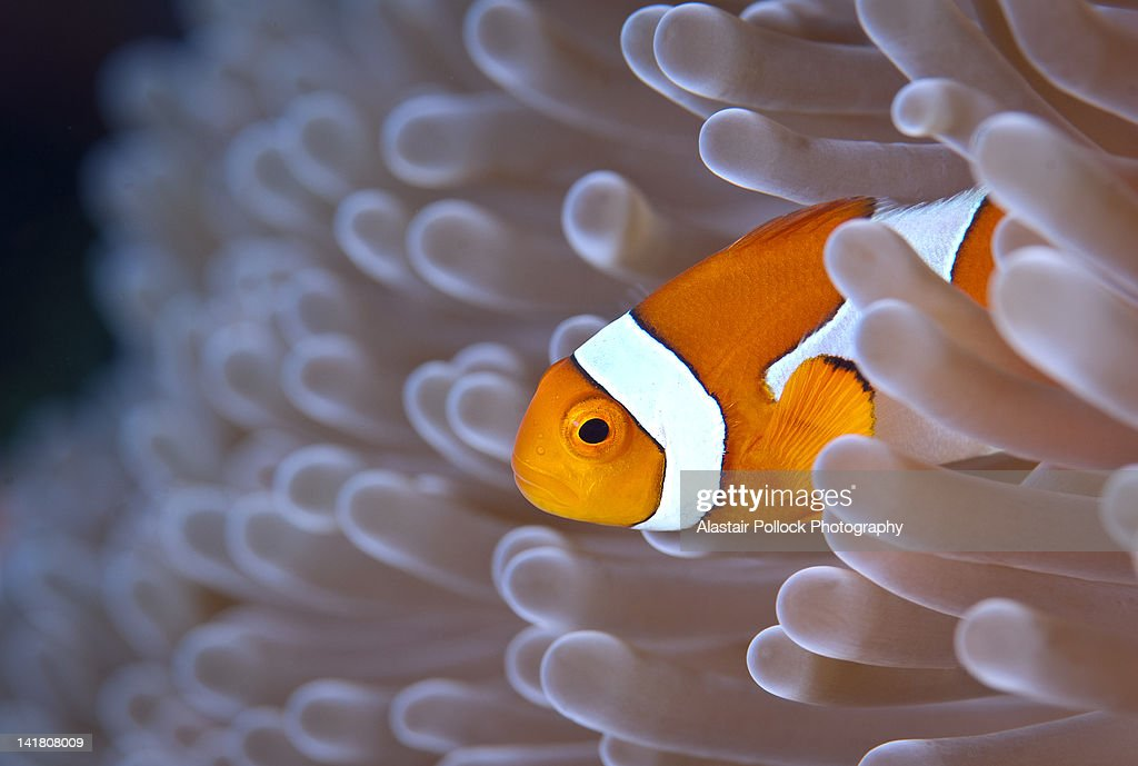 Clownfish in white anemone : Stock Photo