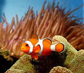 Clownfish is seen June 25 2003 at New World Aquarium in New York City As a result of the tremendous success of the animated movie 'Finding Nemo' the...