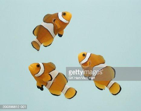 Clownfish on gray background : Stock Photo