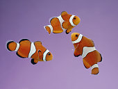 Clownfish on purple background