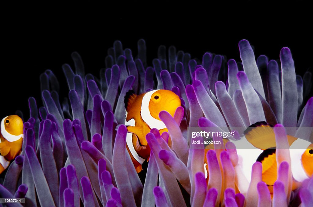 clownfish (Amphiprion Ocellaris)