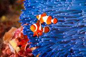 Two Ocellaris clownfish (Amphiprion ocellaris) anda blue sea anemone