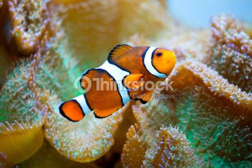 Pesce pagliaccio foto stock thinkstock for Pesce pagliaccio foto