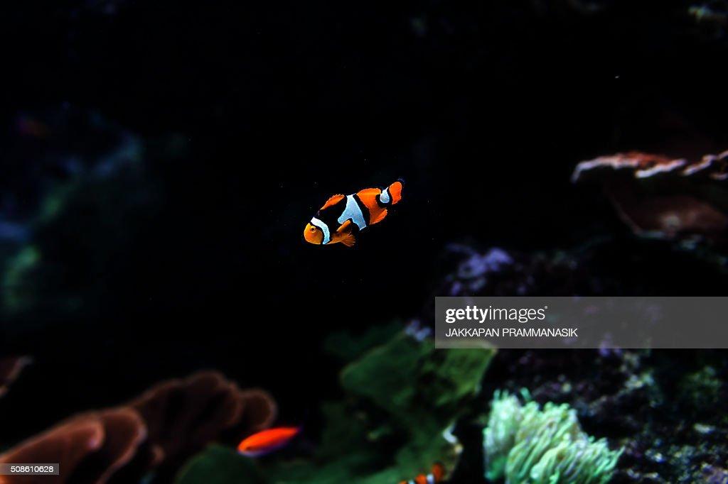Clownfish : Stock Photo