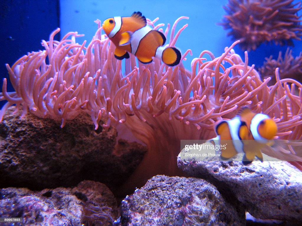 Clownfish : Photo