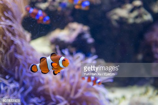 Clownfish Swimming In Sea