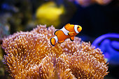 Photo showing a clownfish pictured close-up, with sea anemone coral forming the background.