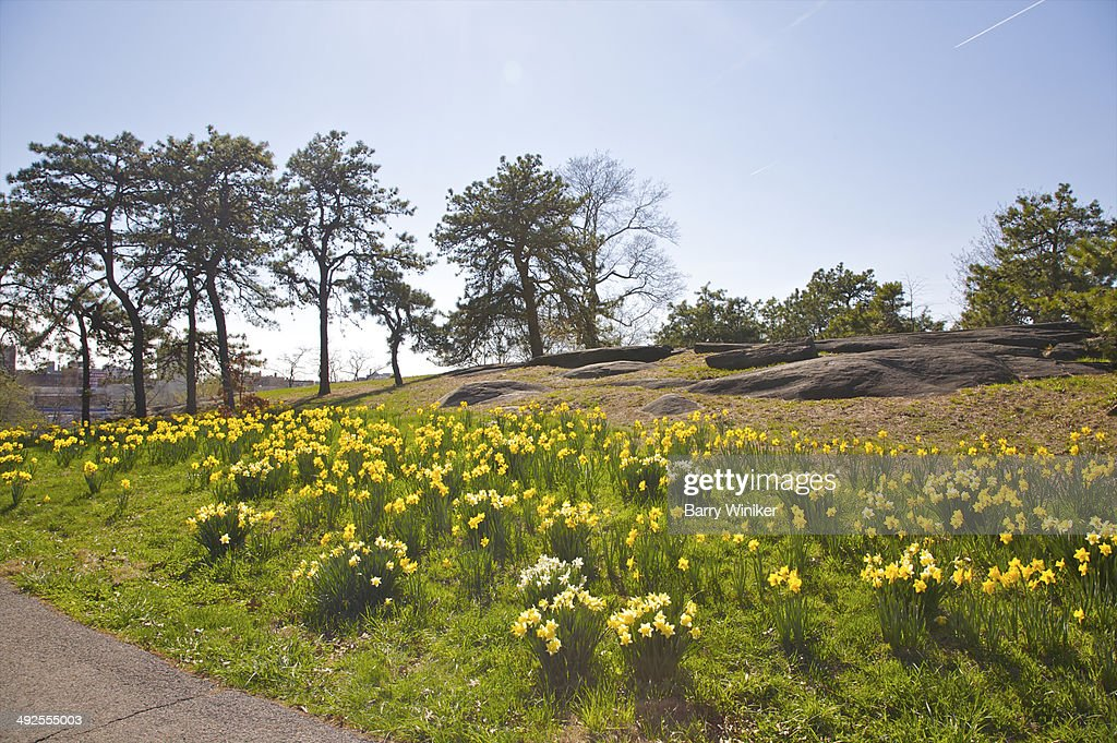 Clumps of yellow narcissus below boulders in park