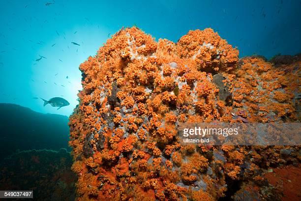 Cluster Anemones covers Reef Parazoanthus axinellae Tamariu Costa Brava Mediterranean Sea Spain