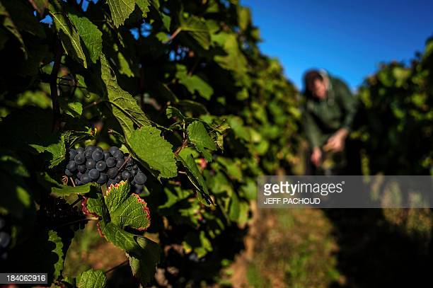 A cluster of grapes is pictured in a vineyard in Faiveley in NuitsSaintGeorges during the harvest period on October 7 2013 AFP PHOTO / JEFF PACHOUD