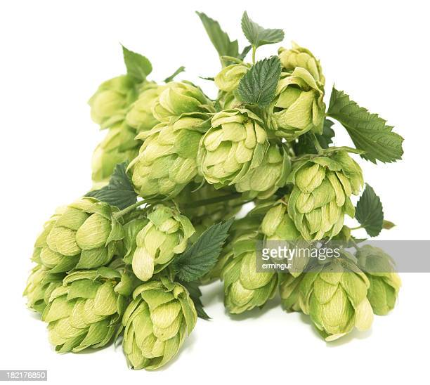 Cluster of hops with leafs isolated on white