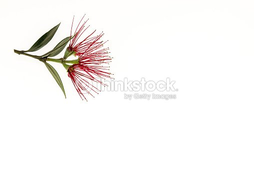 Cluster Of New Zealand Christmas Tree Flowers Isolated On White