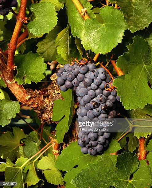 Cluster of pinot noir grapes on vine, close-up