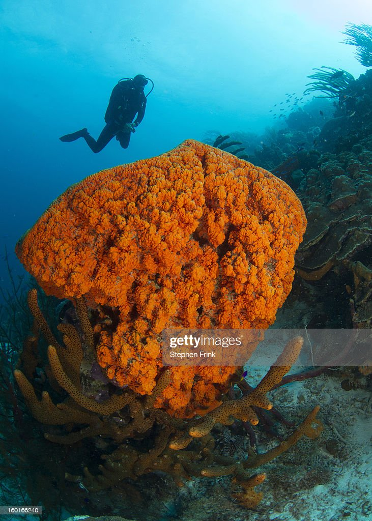 Cluster of Sponges, a type of Marine Invertebrate : Stock Photo