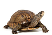 Coahuilan Box Turtle (Terrapene Coahuila) isolated on white background.