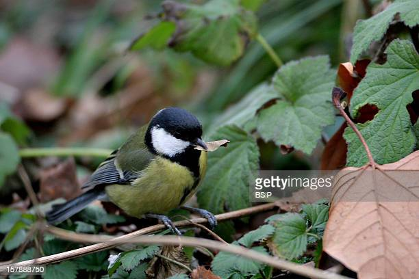 Coal Tit Coal Tit With A Leaf In Beak Picture Taken In Picardy FrancePeriparus Ater Coal Tit Parid Tit Passerine Bird