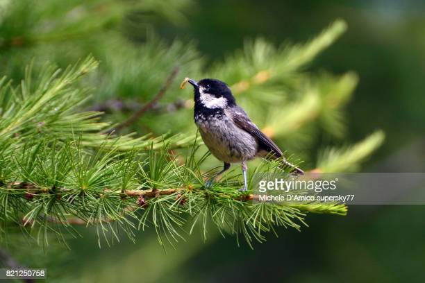 Coal tit (Periparus ater) feeding with a worm