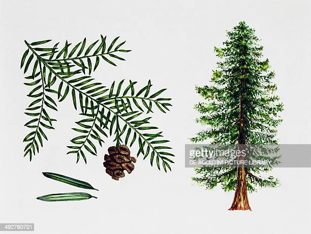 coast redwood California redwood or Giant redwood Cupressaceae tree leaves and fruit illustration