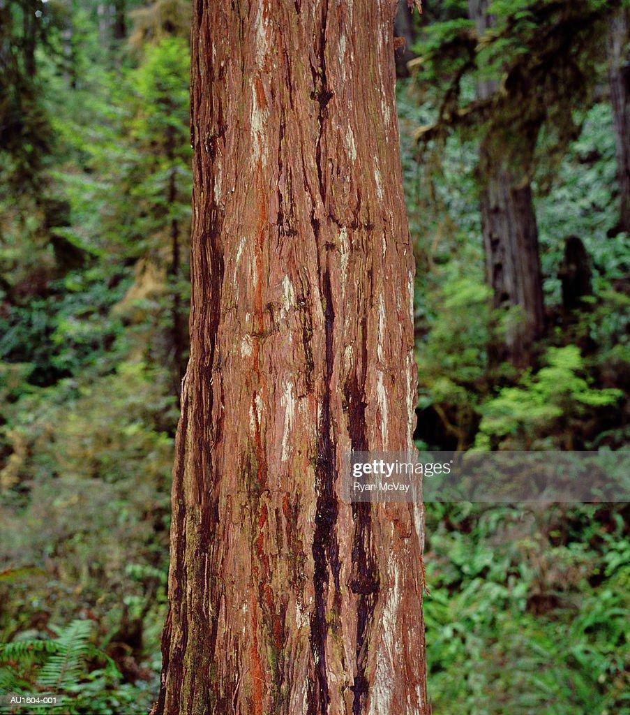 Coast redwood (Sequoia sempervirens) tree trunk (selective focus) : Stock Photo