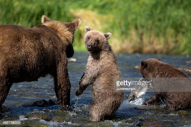 Coastal Brown Bear Familie