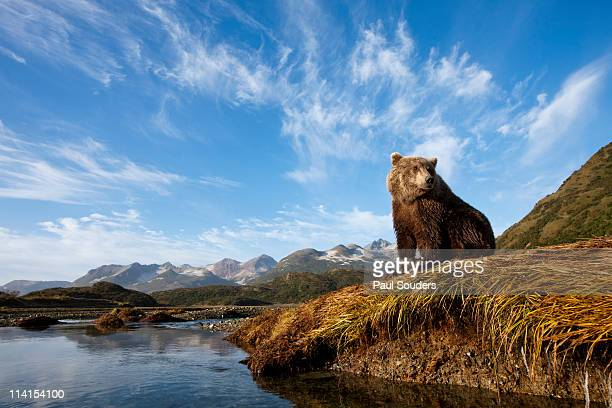 Coastal Brown Bear, Katmai National Park, Alaska