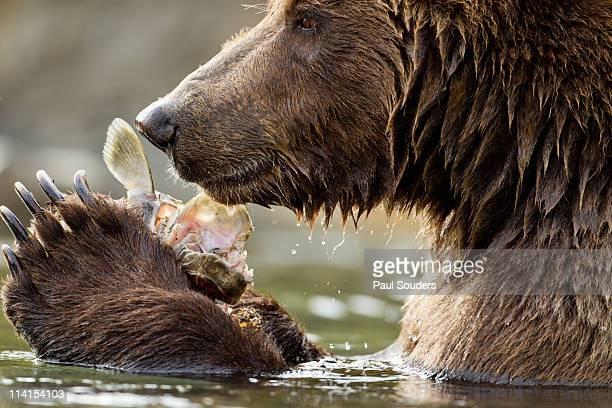 Coastal Brown Bear, Katmai National Park, Alaska