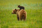 Spring cub hitching a ride on mom's back.
