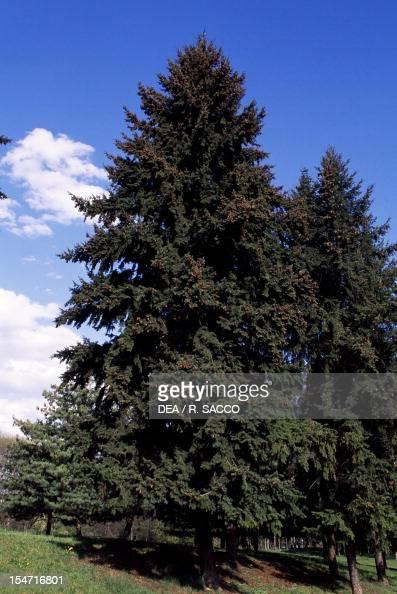 Coastal Douglas fir or Duglasia Pinaceae
