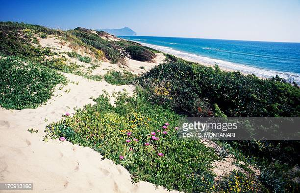 Coastal dune with blooming Highway iceplant near Lake Caprolace National Park of Circeo Lazio Italy