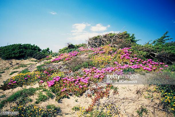 Coastal dune with blooming Highway iceplant near Lake of the Monks National Park of Circeo Lazio Italy