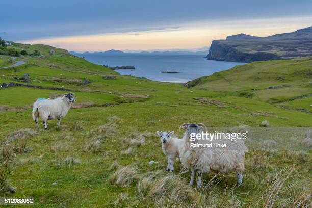 Coastal landscape in the evening at sunset with sheeps, Isle of Skye, Scotland, United Kingdom