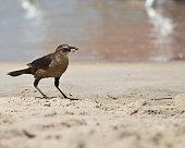 Small coastal bird eating a crab
