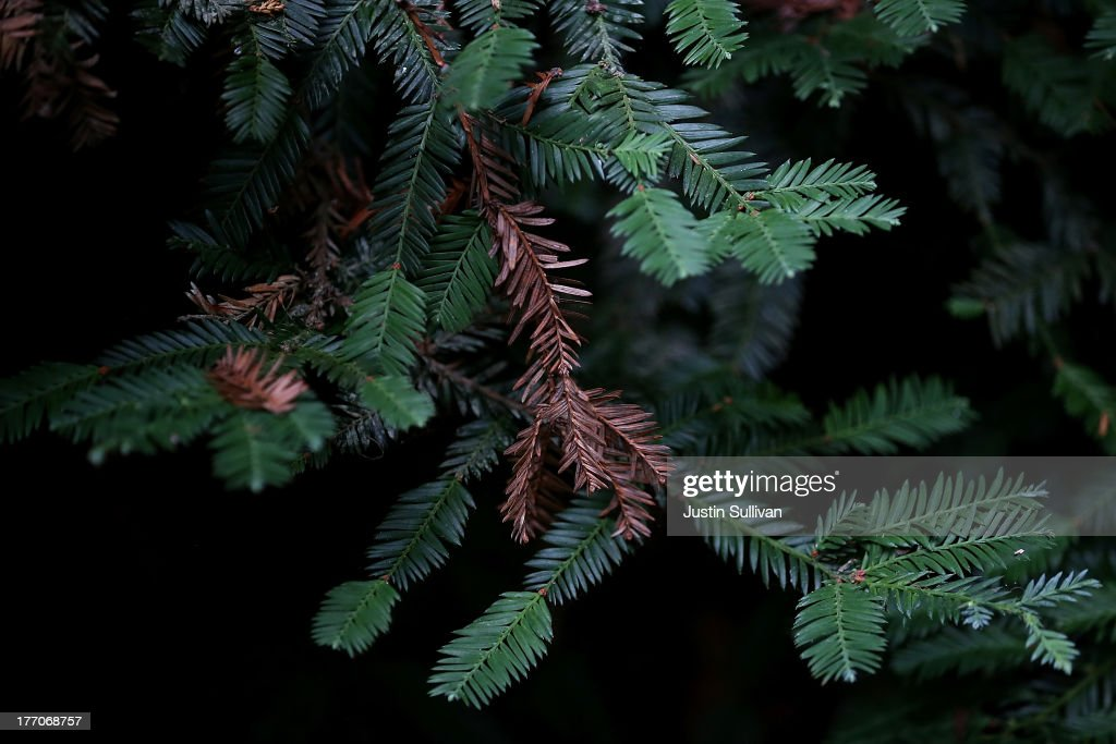 Coastal Redwood tree needles are seen at Muir Woods National Monument on August 20, 2013 in Mill Valley, California. A four-year study by the Save the Redwoods League called 'the Redwoods and Climate Change Initiative' found that due to changing environmental conditions, California's Coast Redwoods and Giant Sequoias are experiencing an unprecedented growth surge and have produced more wood over the past century than any other time in their lives.